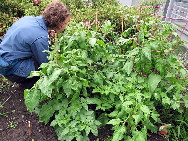 Bushy Tomato Plants