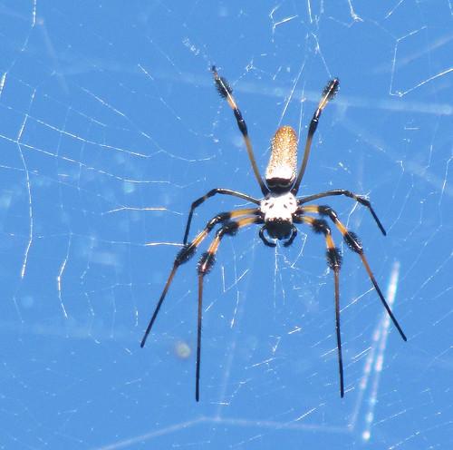 The spider, Davie, Florida