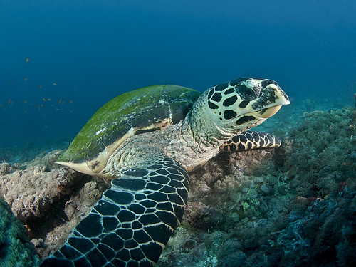 Hawksbill turtle_PCF3933