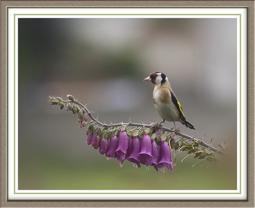 Goldfinch on Foxglove