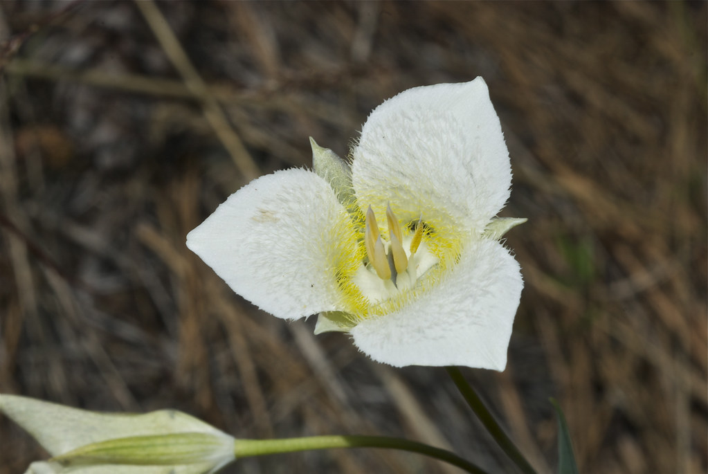 Pointedtip mariposa lily, Three-spot Mariposa lily, Baker's mariposa lily