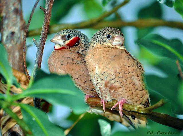 Male & Female Cut Throat Finch