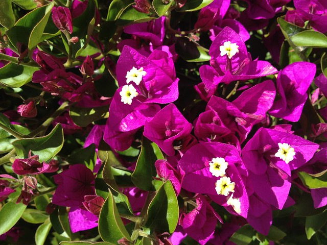 Purple bougainvillea flowers (Nyctaginaceae), 24th Street