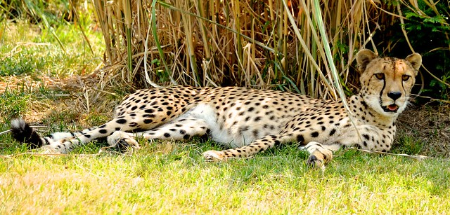 Cheetah in the Shade