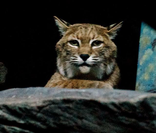 Bobcat Face