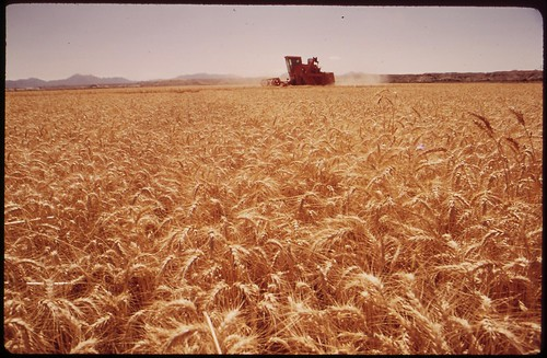 Grain harvester in the Palo Verde Valley. The field lies 200 yards from the Colorado River, May 1972