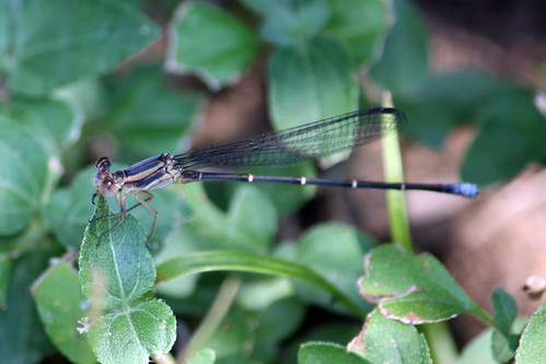 Powdered Dancer (Argia moesta), teneral male