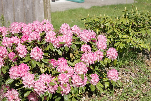 pink rhodie
