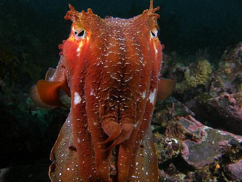 Giant Cuttlefish - Sepia apama