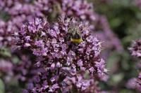 Purple Oregano