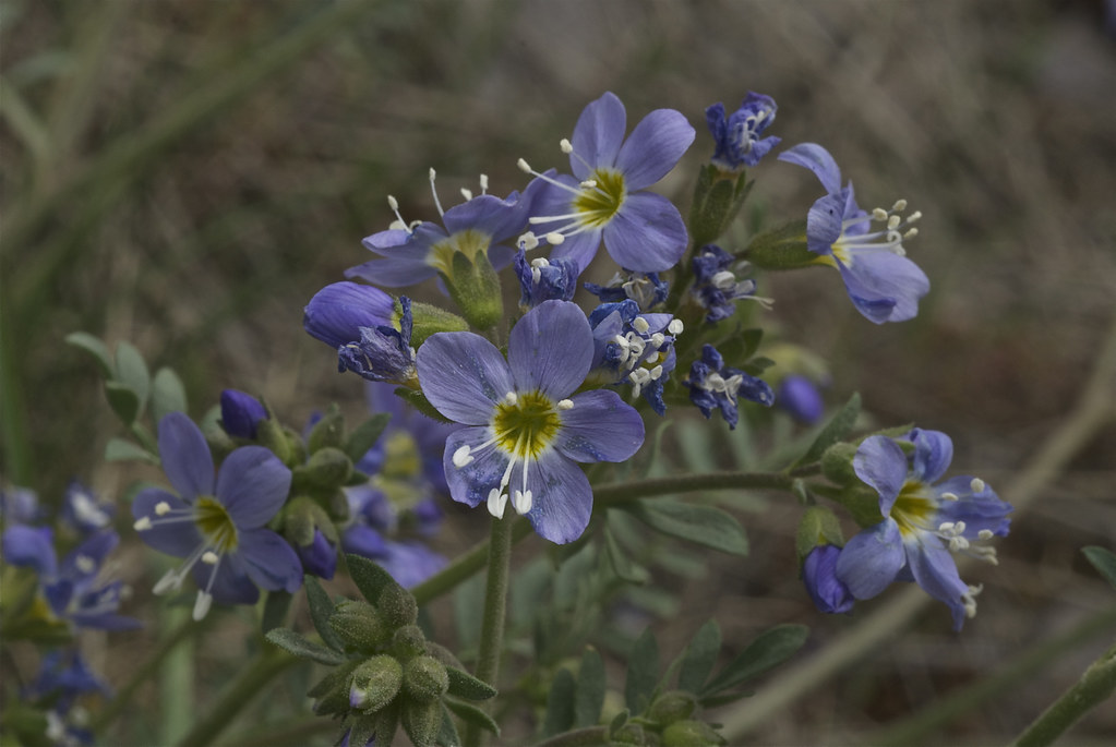 Showy polemonium,  Jacob's-ladder