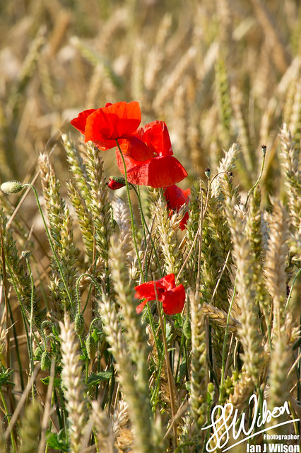 Poppy's & Wheat – Daily Photo (31st July 2012)