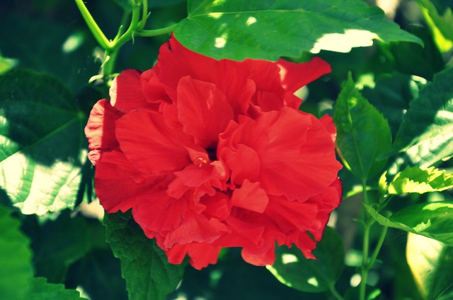 Bloomin' Red Hibiscus