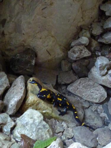 Fire salamander - salamandra pezzata
