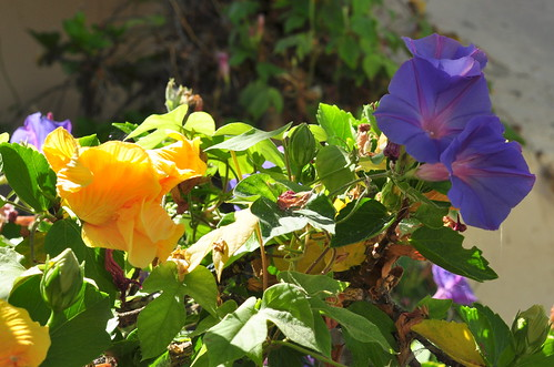 hibiscus + morning glory