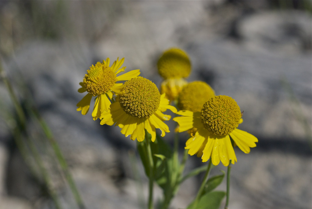 Falsegold Groundsel