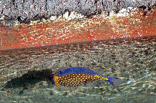 male boxfish