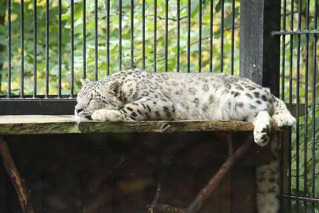 Napping Snow Leopard