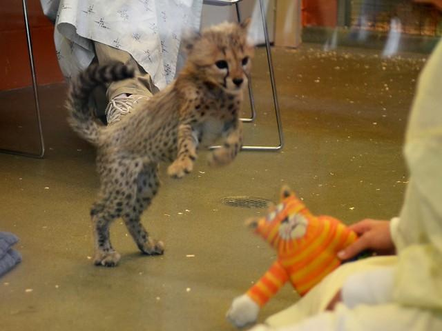 Cheetah Pounce!