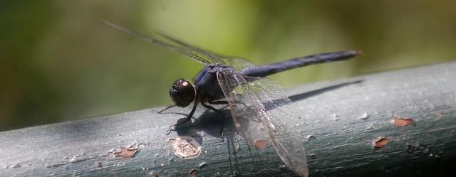 dragonfly (1280x498)