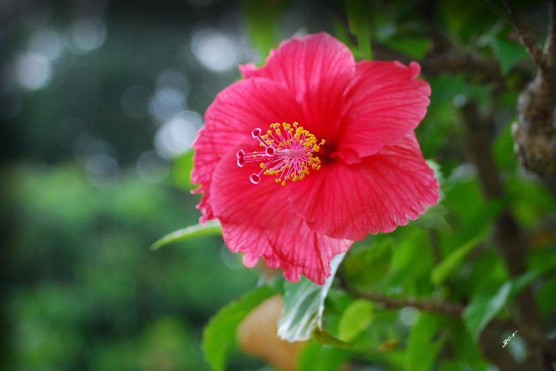 国花,扶桑