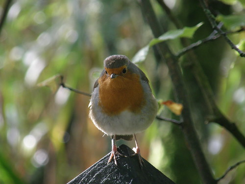 Causeway Robin