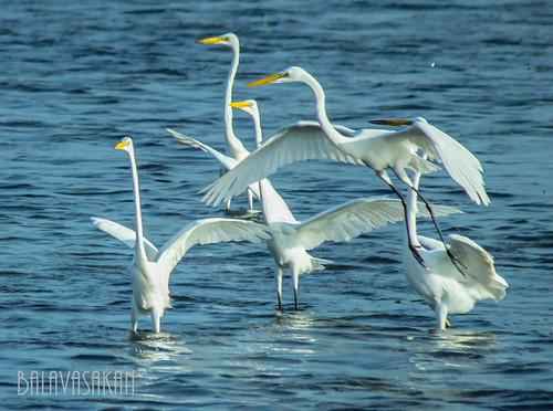 Big egrets on action by Balavasakan