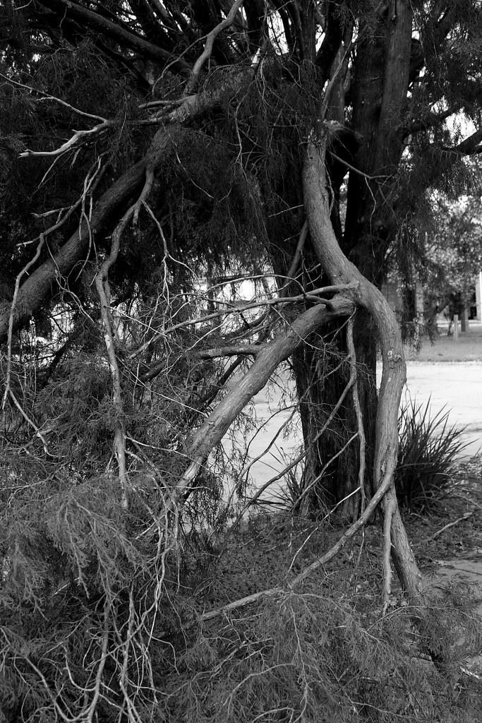 split tree branches