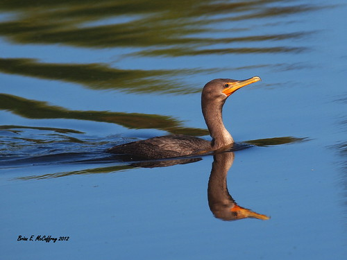 Cormorant making waves...