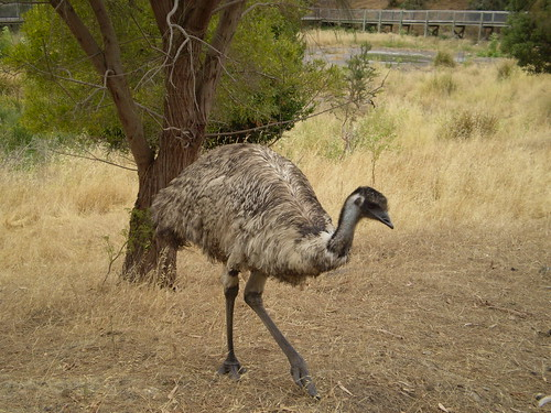 Emu at the Valley Lake Wildlife Park by holidaypointau