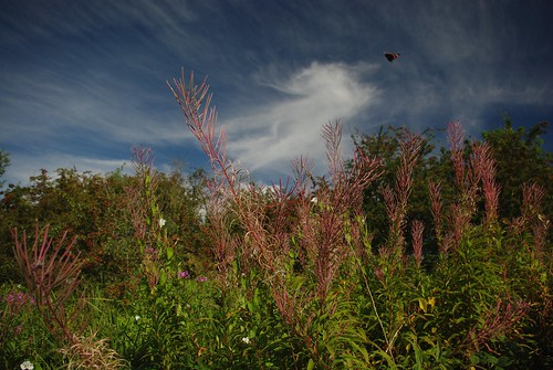20120908-15_Red Admiral Butterfly in Flight + Clouds by gary.hadden