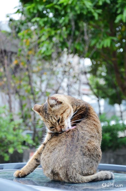 台北淡水貓散步(連拍)12.jpg
