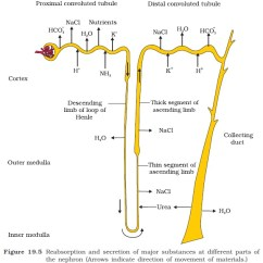 Nephron Diagram From A Textbook Wiring For Murray Riding Lawn Mower Ncert Class Xi Biology Chapter 19 Excretory Products And Their Collecting Duct This Long Extends The Cortex Of Kidney To Inner Parts Medulla Large Amounts Water Could Be Reabsorbed