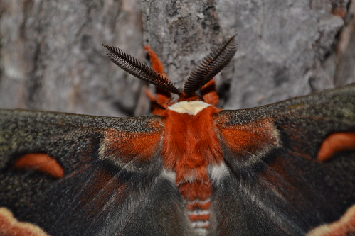The northeastern Cecropia moth