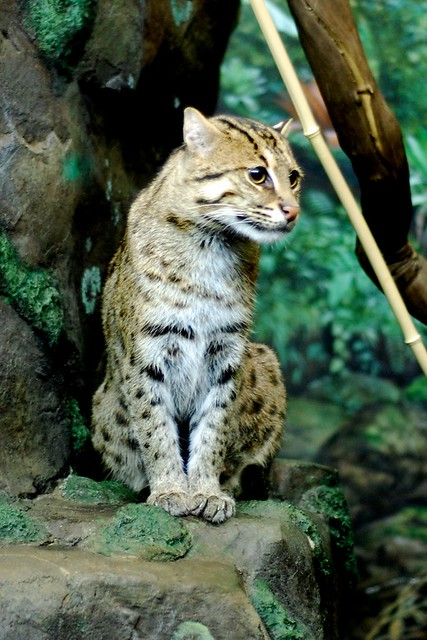 Pretty Fishing Cat