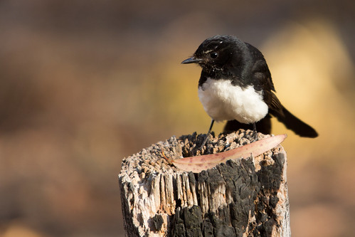 Willy Wagtail 2013-01-20 (_MG_9971)