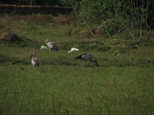 greyedback cranes and white cranes by mdashf