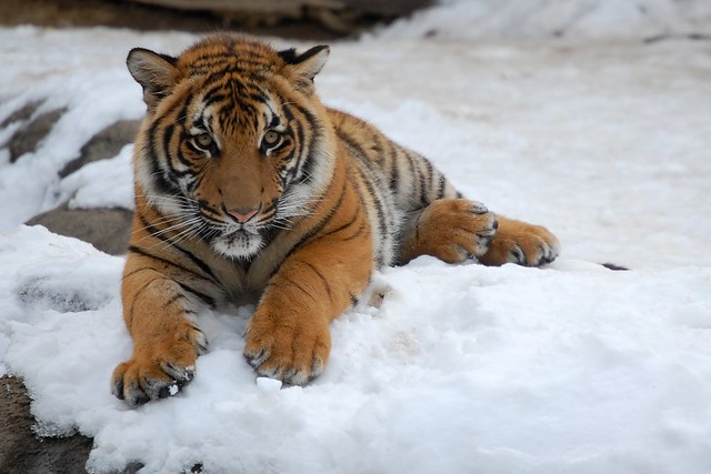 Tiger on Ice