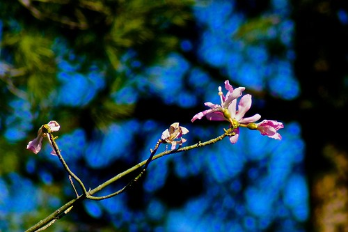 Weekly Photo (3/52) Silk Floss Tree (Chorisia speciosa) by Kristen Koster on Flickr
