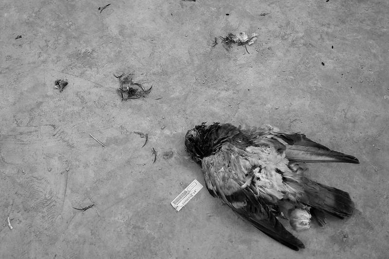 pigeon_s