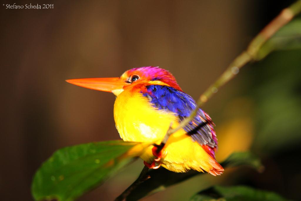 Kingfisher - Malaysia