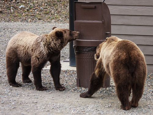 Young Grizzlies looking for garbage