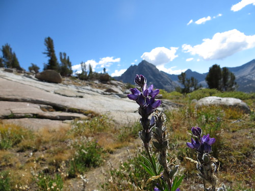 Lupine. Darwin Bench Sierra Nevadas, California USA by pollywogonalog