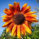 Orange Sunflower?