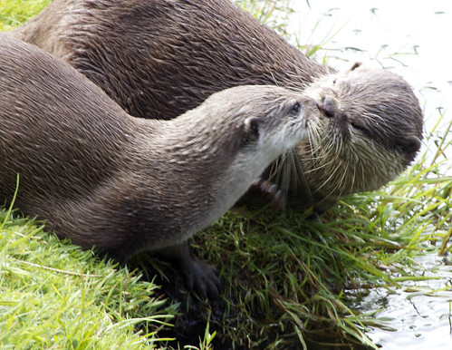 Two otters on a riverbank, touching snouts as though kissing.