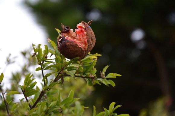 121008_pomegranate