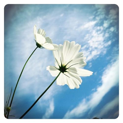 White Cosmos & Sky
