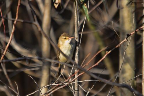 Reed Warbler 2012-10-22 (_MG_5931