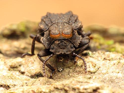 Bolitotherus cornutus (Forked fungus beetle) 1
