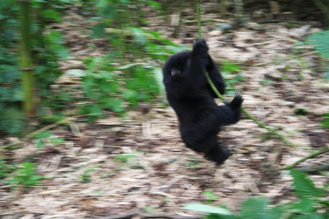 baby gorilla swinging
